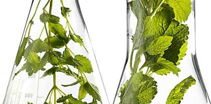Les produits Sanoflore sont issus de plantes aromatiques aux senteurs riches...