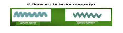 Filaments de Spiruline (article spiruline et cancer)