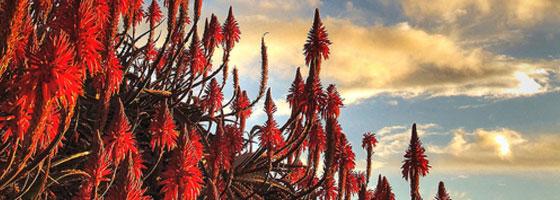 Aloe vera culture entretien et action sur le cancer - Fleur d aloe vera ...