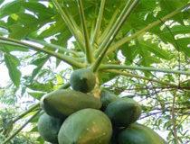 La papaye fermentée a une action anti-vieillessement