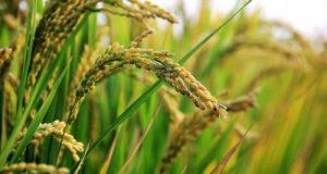 Huile son de riz