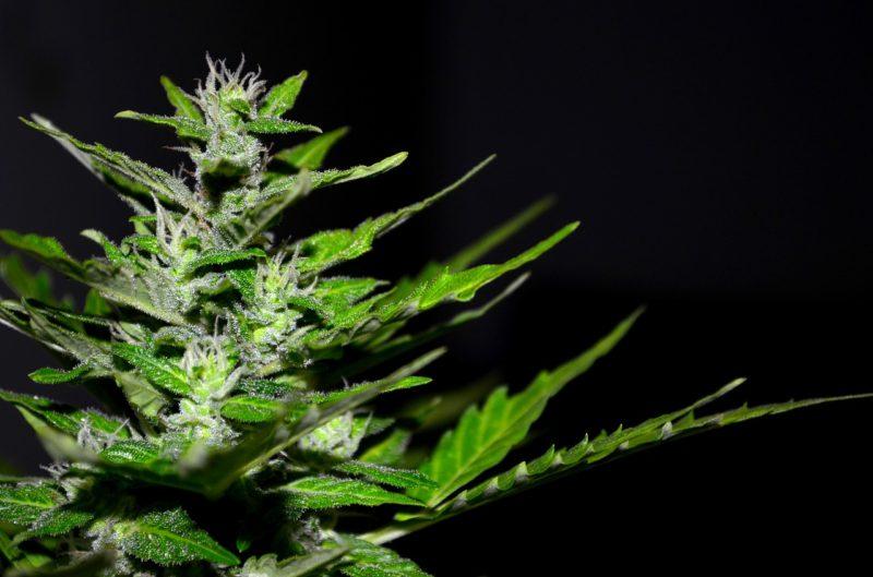 se faire livrer du cannabis légal