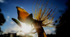 fleur millepertuis,