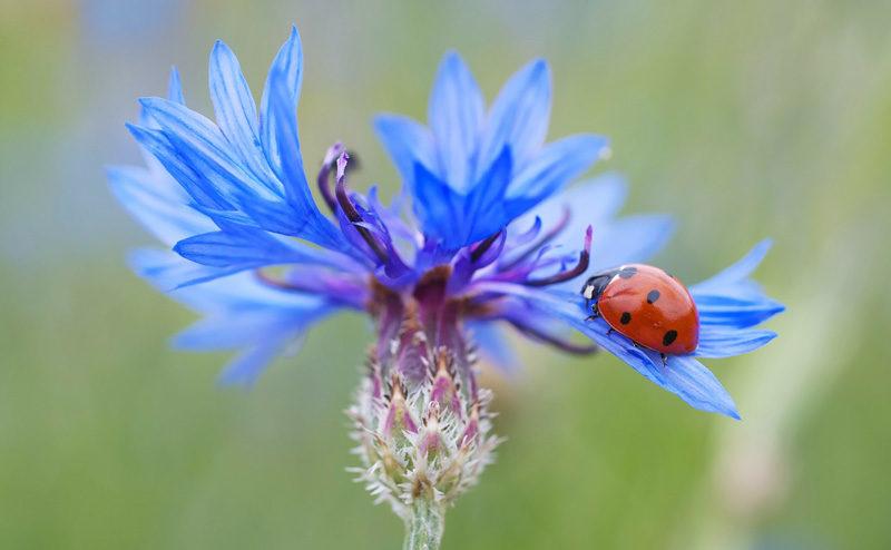 Eau florale bio de bleuet