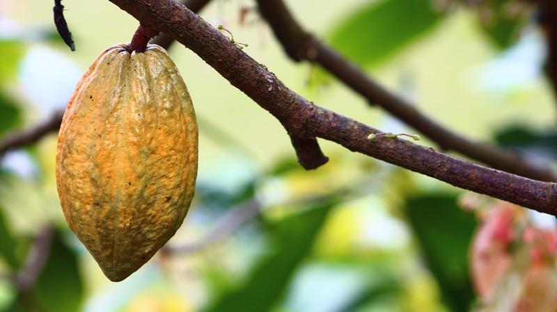 Producteur cacao bio