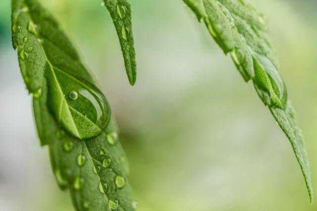 dérivé du cannabis aux vertus médicinales