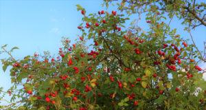 rose musquee du chili